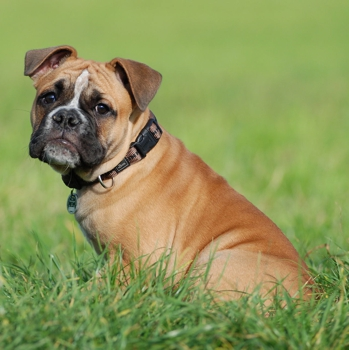 Photo of Olde English Bulldogge puppy
