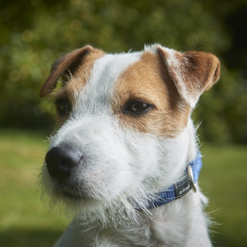 Parson Russell Terrier Breed Information Characteristics