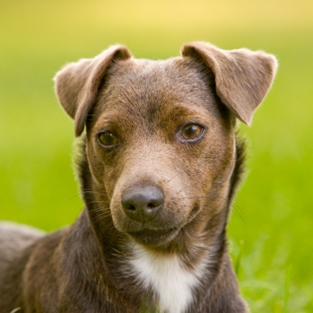 Patterdale Terrier Breed Information Characteristics Heath