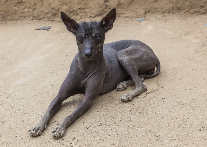 Peruvian Hairless Dog Large Photo