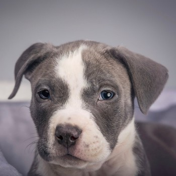 Photo of American Pit Bull Terrier puppy