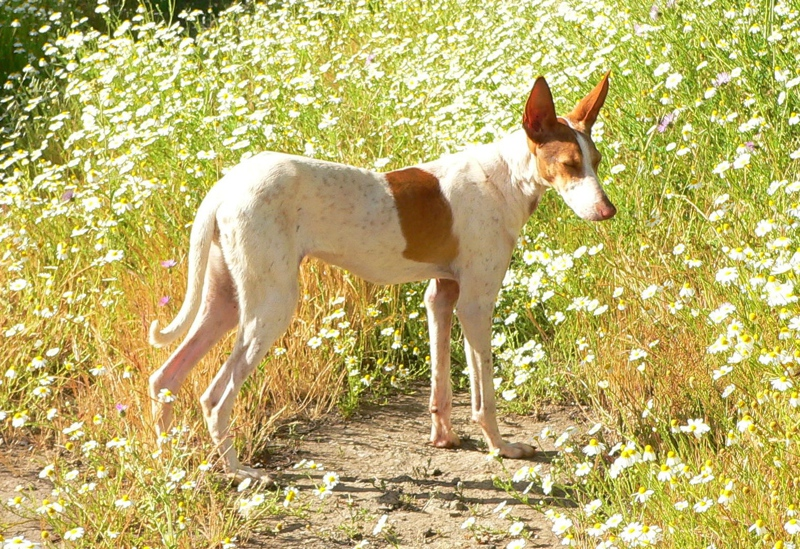 Podenco Canario Large Photo