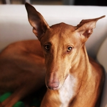 Photo of adult Podenco Canario