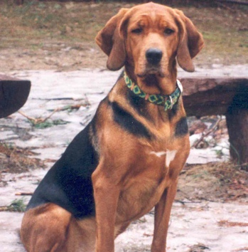 Photo of adult Polish Hound