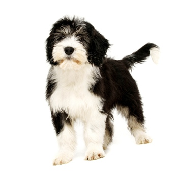 Photo of Polish Lowland Sheepdog puppy