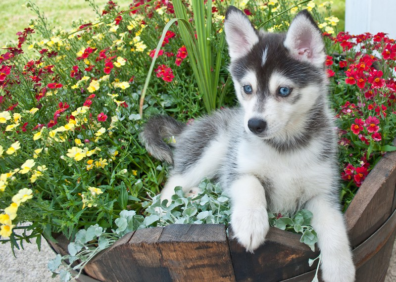 Pomsky Large Photo