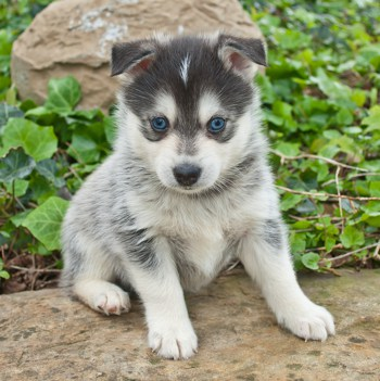 Photo of Pomsky puppy