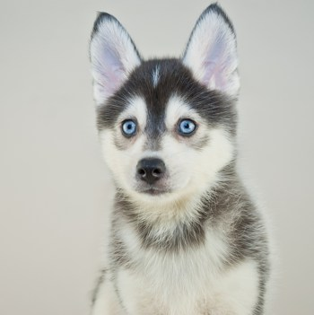 Photo of adult Pomsky