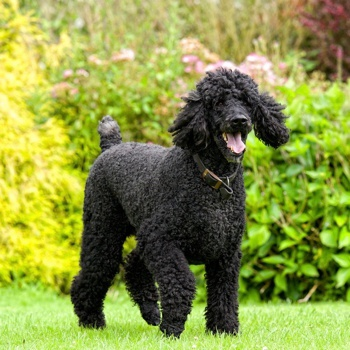 Photo of adult Poodle