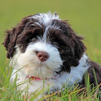 Photo of Portuguese Water Dog puppy