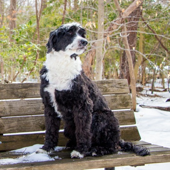 Photo of adult Portuguese Water Dog