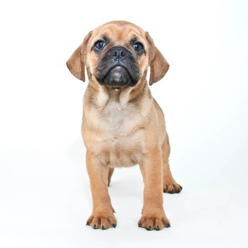 Photo of Puggle puppy