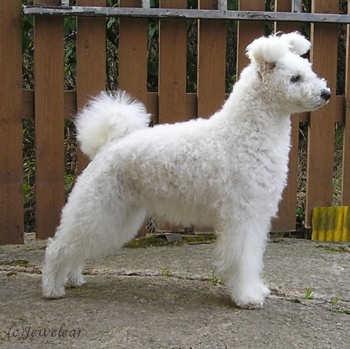 Photo of adult Pumi Dog
