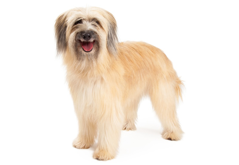 Pyrenean Sheepdog Large Photo
