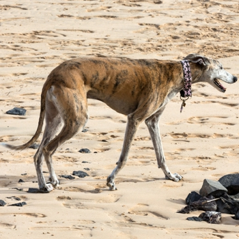 Photo of adult Rampur Greyhound
