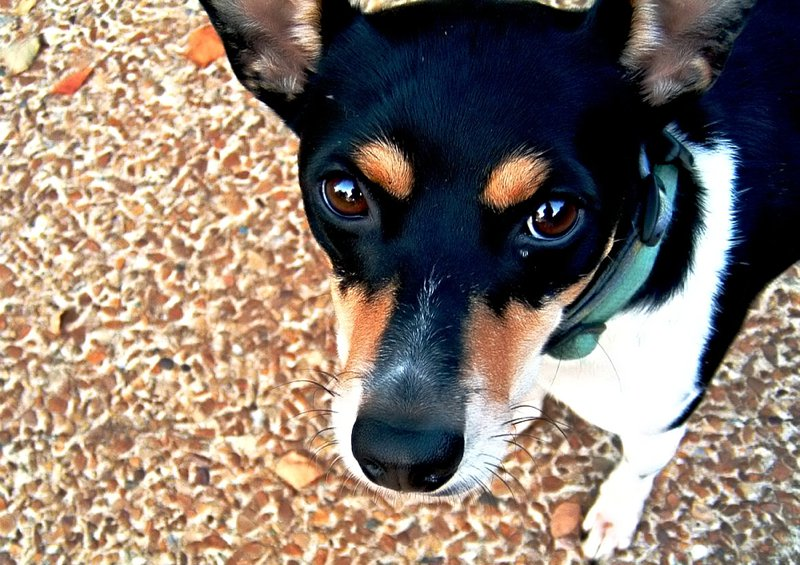 Rat Terrier Breed Information Characteristics Amp Heath