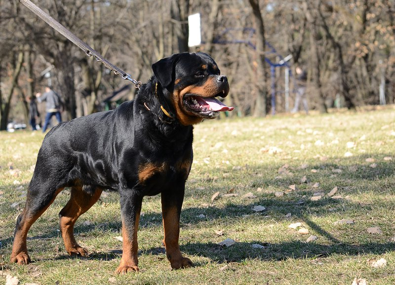 Rottweiler Large Photo