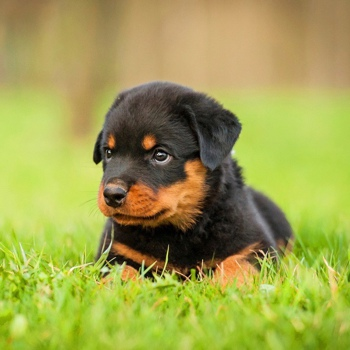 Photo of Rottweiler puppy