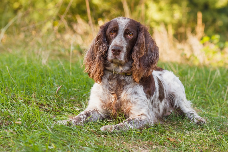 Russian Spaniel Large Photo