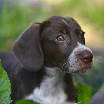Photo of Russian Spaniel puppy
