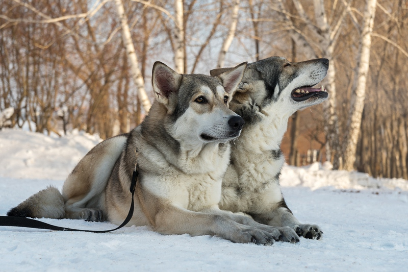 Saarloos Wolfdog Breed Information Characteristics