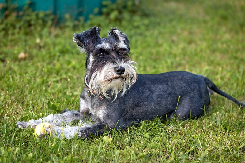 Schnauzer Breed Information Characteristics Amp Heath
