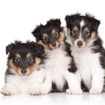 Photo of Shetland Sheepdog puppy