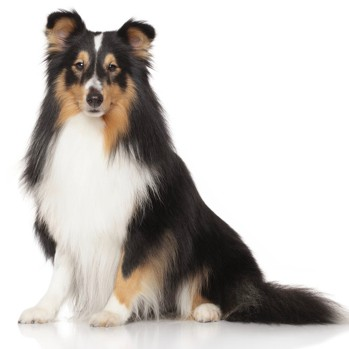 Photo of adult Shetland Sheepdog