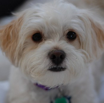 Photo of adult Shih-Poo