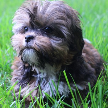 Photo of adult Shorkie