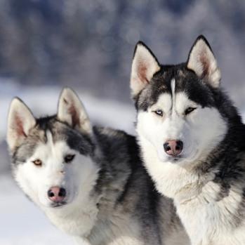 Siberian Husky Breed Information, Characteristics & Heath