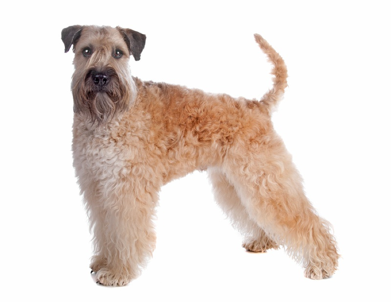 Soft Coated Wheaten Terrier Large Photo