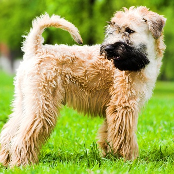 Photo of Soft Coated Wheaten Terrier puppy