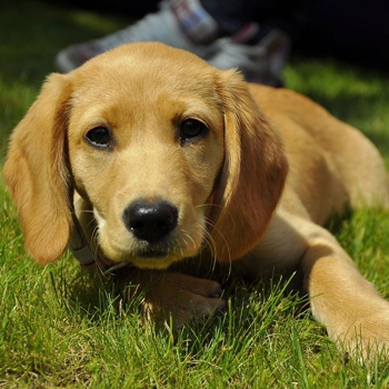 Photo of Spanador puppy