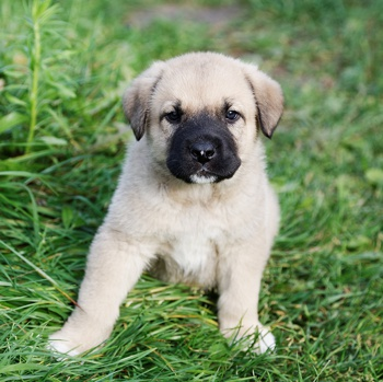 Photo of Spanish Mastiff puppy