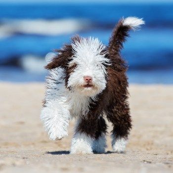 Photo of Spanish Water Dog puppy