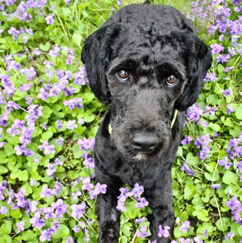 Photo of Springerdoodle puppy