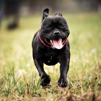 Photo of adult Staffordshire Bull Terrier