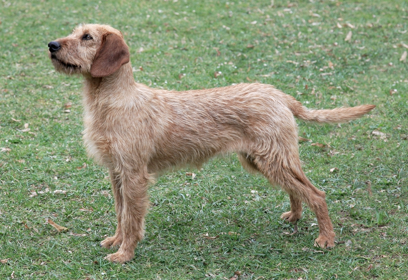Styrian Coarse-Haired Hound Large Photo