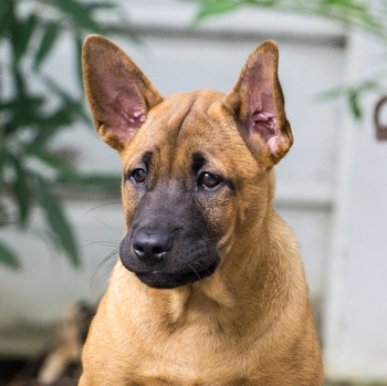 Photo of Thai Ridgeback puppy