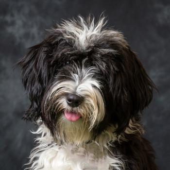 Tibetan Terrier Breed Information, Characteristics & Heath ...