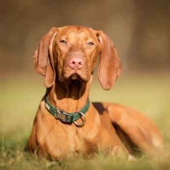 Photo of adult Vizsla