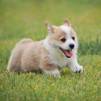 Photo of Welsh Corgi puppy