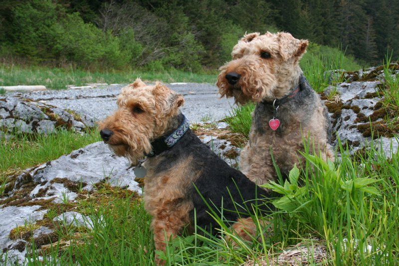 Welsh Terrier Large Photo
