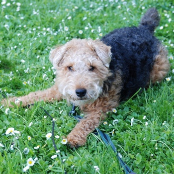 Photo of Welsh Terrier puppy
