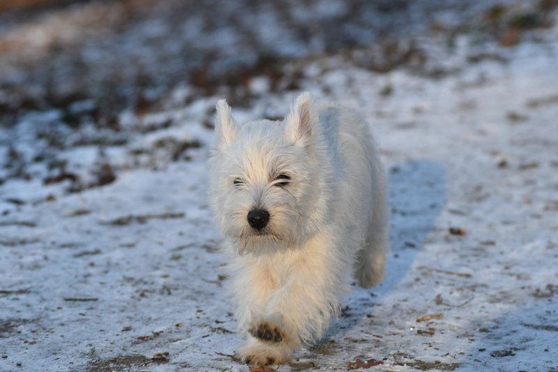 West Highland White Terrier Large Photo
