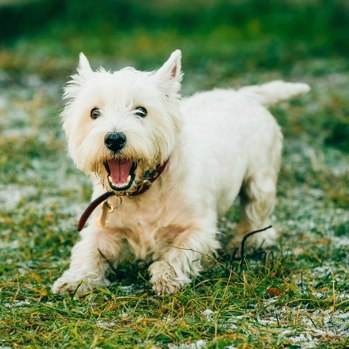 Photo of adult West Highland White Terrier
