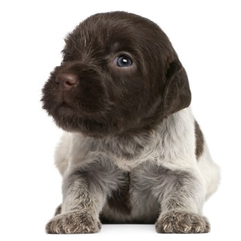 Photo of Wirehaired Pointing Griffon puppy