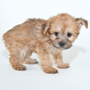 Photo of Yorkie-Poo puppy