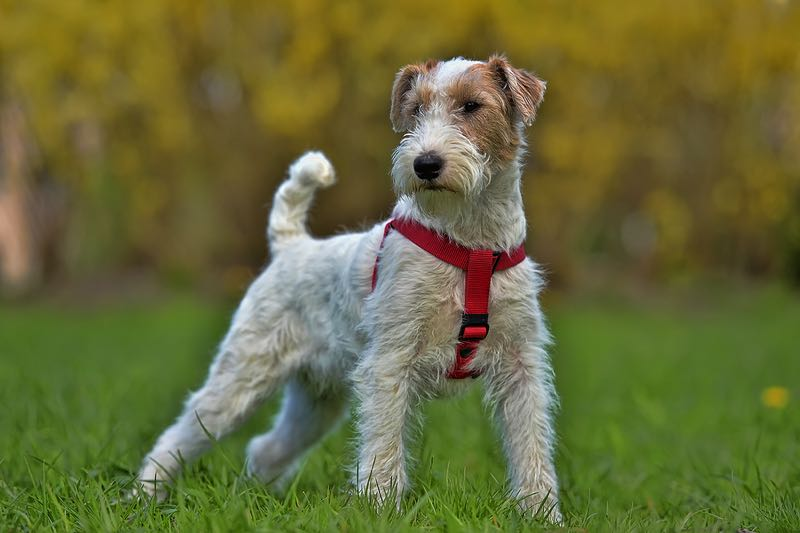 Airedale Terrier standing in a field
